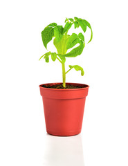 seedling of  plant of young tomato in flowerpot is isolated on w