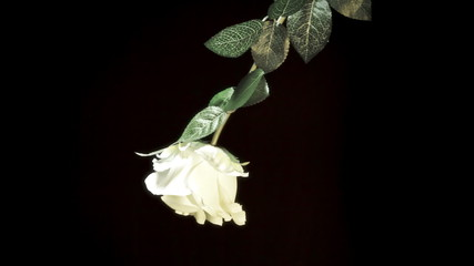 White rose black background