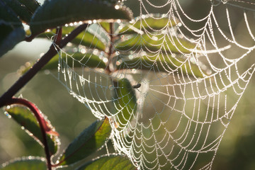 Web on branches. Spider on a web. Dew on a web.