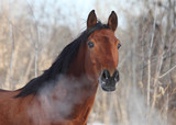 Hot breath of a young horse in winter day