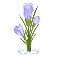 Fioletowe pierwiosnki wiosenne w śniegu