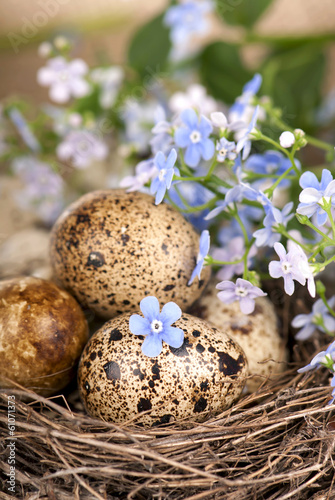 Quail eggs in a nest, forget-me-nots closeup