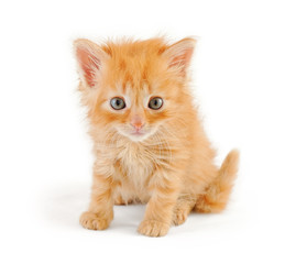 dishevelled red kitten