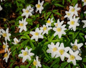 white florest anemone