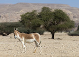 Onager (Equus hemionus) is a brown Asian wild ass