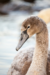 Portrait of a young swan, Poland,Pogoria lake.Winter time.