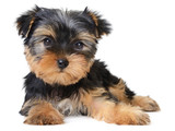 yorkshire terrier - Fine Art prints