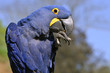 Profile portrait blue hyacinth macaw
