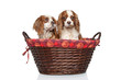 King Charles spaniel puppies in wicker basket