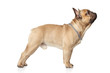 French bulldog standing