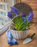 Hyacinths and muscari in a white basket
