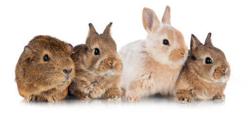 rabbits with a guinea pig