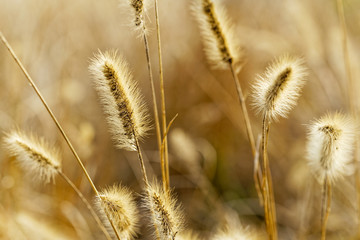 Yellow silvergrass