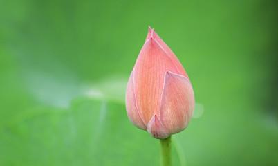 Hindu Lotus