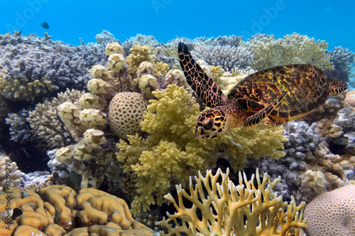 Poster Schildpad green turtle swimming in blue ocean,great barrier reef