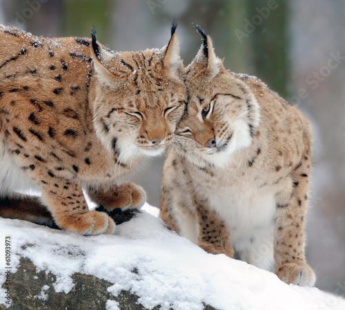Fotobehang Lynx Lynx