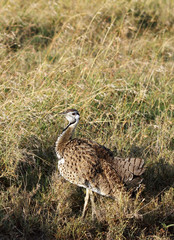 A Black-Bellied Bustard