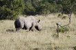 Постер, плакат: A black Rhinocerous in the Savannah grassland Kenya