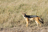 A black backed Jackal