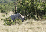 A beautiful black Rhinoceros behind the bush