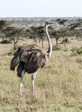 A female Ostrich in the vast grassland poster