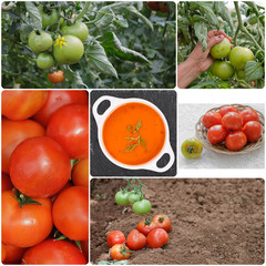 Collage of Tomatoes
