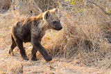 Small hyena pup playing walking outside its den in early morning