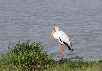 A beautiful yellow billed stork near a pond