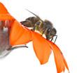 Obrazy na płótnie, fototapety, zdjęcia, fotoobrazy drukowane : abeja en su flor