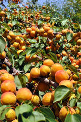 close-up of the ripe apricots, vertical composition