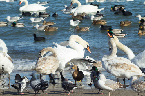 swans,ducks,sea gulls and pigeons on sea shore