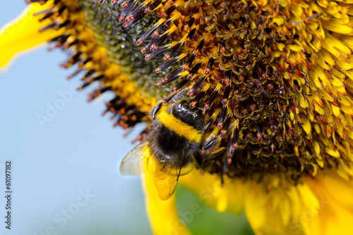 Bumblebee on a Sunflower, Close-up