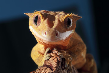 Portrait of a Caledonian crested gecko