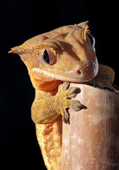 Caledonian crested gecko on a bamboo cane