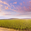 California vineyard field sunset in US