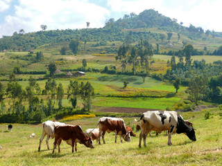 Africa, Ethiopia. Landscape nature. Pasture. Cows eat grass.