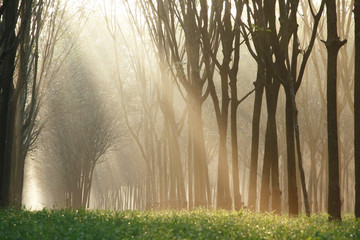 Rubber tree at sunrise in mist at South Thailand.