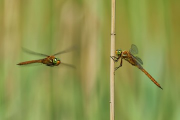Dragonflies, one sitting on a reed, and the other on the fly