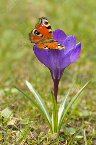European Peacock (Inachis io) and Crocus (Crocus L.)