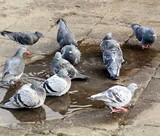 Pigeons enjoying a pool of rainwater