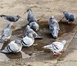 Pigeons enjoying a pool of rainwater poster