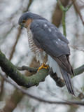 Sparrow hawk looking for lunch