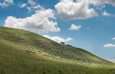 Sheep grazing in the fields