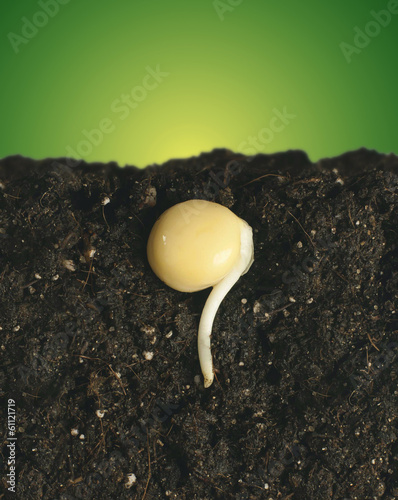 germinated seeds with the root in the ground