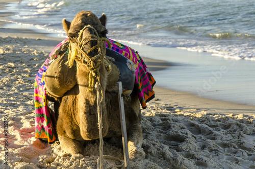 Foto op Canvas Kameel Kamel am Strand von Sousse, Tunesien