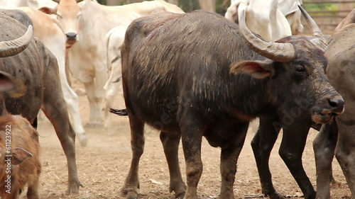 Pan Shot to group of water buffalo