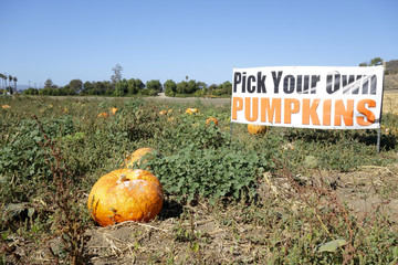 Pick Your Own Pumpkins, Ventura county, CA