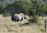 A black Rhinocerous moving away in the jungle