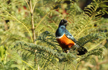 A beautiful splendid looking Superb Starling