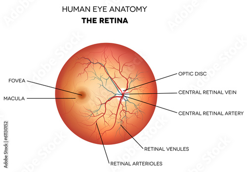 Human eye anatomy, retina